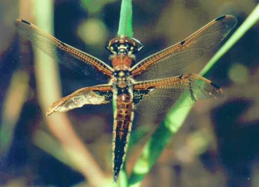 damaged dragonfly