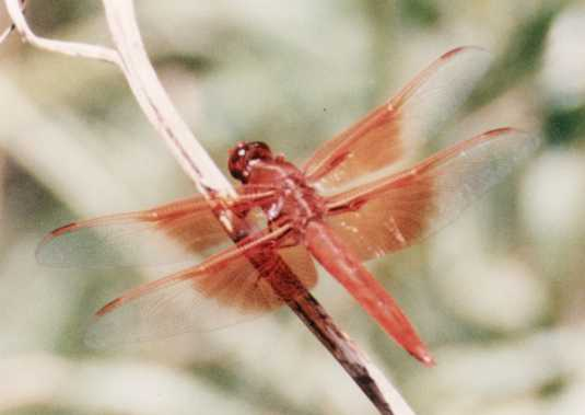 basking dragonfly